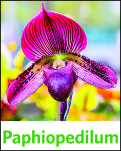 """Paphiopedilum are often called the """"Lady Slipper"""" Orchid because their flower resembles a lady's slipper. Follow the link to find out more about Paphiopedilum orchids."""