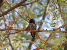 #Costa's Hummingbird.  Mar 24, 1989                         *Foothills, AZ at Fortuna Wash photo TRD - Costa's Hummingbird. Riparian Reserve, Gilbert, AZ, nov 28, 2004.