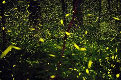 """""""Godspeed # part of an amazing series of firefly photos by Katrien Vermeire. Great Smoky Mountains, Firefly Images, Famous Photographers, Beautiful Love, Absolutely Gorgeous, Natural Phenomena, Land Art, Beautiful Creatures, Mother Nature"""