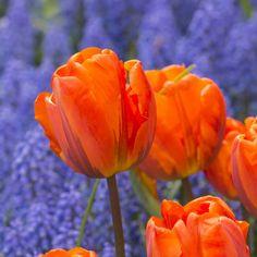 Die orangefarbene Tulpe 'Hermitage' kombiniert mit dem Blau der Traubenhyazinthe Muscari armeniacum.Pflanzzeit ist im Herbst - online bestellbar bei www.fluwel.de