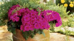 Colorful Cool-Season Blooms to Brighten Up the Fall and Winter Cineraria Cineraria Made for the shade, florists' cineraria adds intense color to dark corners of the garden. Cineraria grows to 2 feet high and wide with daisies ranging in color from white t Winter Plants, Winter Flowers, Seasonal Flowers, Summer Flowers, Flower Garden Drawing, Shade Garden Plants, Purple Plants, Very Beautiful Flowers, Smelling Flowers