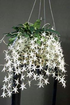Orchideen Orchid: Aerangis biloba 'Jason' Parenting - The Irrational Vocation The advent of cloning, Unusual Flowers, Rare Flowers, Amazing Flowers, White Flowers, Beautiful Flowers, Unusual Plants, Exotic Plants, Cool Plants, Orquideas Cymbidium