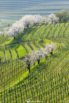 Couple of weeks ago I spend three days in Goriška Brda with my family. It was the cherry blossom season and Brda region has the best cherries in Slovenia. Visit Slovenia, Bohinj, Valley View, Japan Travel, Travel Europe, Amazing Nature, Beautiful Landscapes, Places To See, Countryside