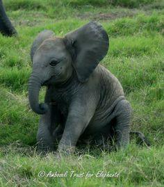 Asian Elephant, Elephant Love, Elephant Art, Elephant Photography, Animal Photography, Wild Creatures, Cute Creatures, Cute Baby Animals, Animals And Pets