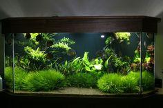 Planted Discus tank