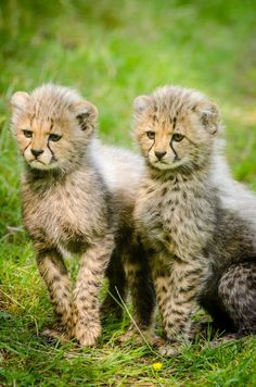 Picture of two cheetah cubs.