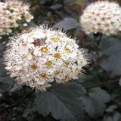 Physocarpe à feuilles d'Obier 'Diabolo' / Physocarpus opulifolius 'Diabolo'