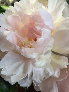 Peonies, available from late May - June.