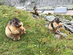 Grossglockner panorámaút, Ausztria Salzburg, Dogs, Animals, Animales, Animaux, Pet Dogs, Doggies, Animal, Animais
