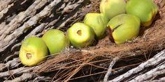 Frutos de jubaea chilensis (Foto: Gloria Rojas)