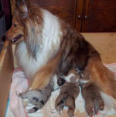 shelties, Mom and her babies.