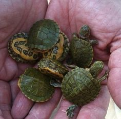 When I was a little girl, we had little turtles like these;you could get them at any dime or pet store.
