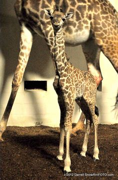 Baby Giraffe, Kiko, at Greenville Zoo .....Such a precious thing to witness // yeahTHATgreenville