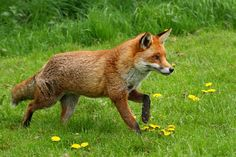 Red Fox by crowlem - Mike Crowle
