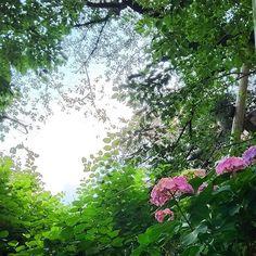 キャプション→空を想う。  #紫陽花 #アジサイ #花 #ピンクの花 #木 #森 #空 #空間 #梅雨 #自然 #風景 #hydrangea #flowers #pinkflowers #tree #forest #sky #space #green #nature #landscape ユーザー→namiaki810 場所→