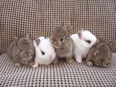 Netherland Dwarf-Rabbits