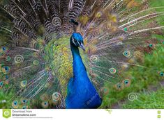 Male Peacock, Peafowl, Stock Photos, Indian, Bird, Animals, Beautiful, Peacock, Animales