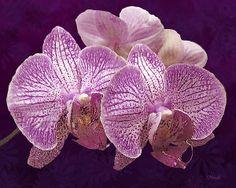 Two Orchids: Fine Art Print on Fine Art America.