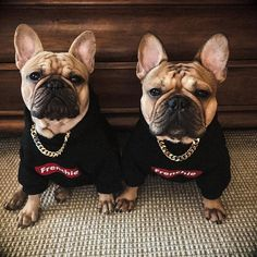 """""""Frenchie gang album coming soon"""" French Bulldogs, Get fresh at frenchiegang.com"""