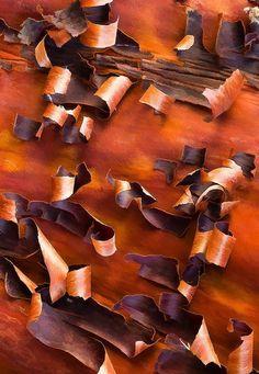 peeling Manzanita  bark