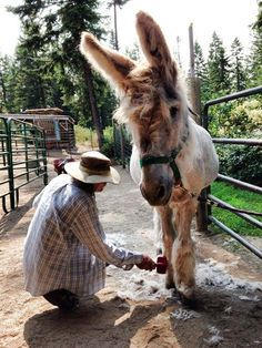 Magic Sam getting groomed. He is so good. He loved the attention and it   makes him feel so good! We love you, Magic Sam!!! Courtesy:  Lavender   Dreams Farm & Donkey Rescue, Spokane, Washington (USA).