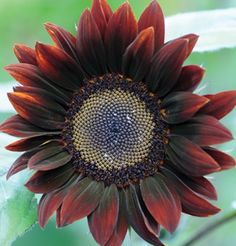 David's Garden Seeds Sunflower Tall Branching Stem Chocolate (Brown) 25 Non-GMO, Open Pollinated Seeds Giant Sunflower, Sunflower Bouquets, Sunflower Seeds, Planting Sunflowers, Sunflowers And Daisies, Daisy Flowers, Summer Garden, Lawn And Garden, Garden Tools