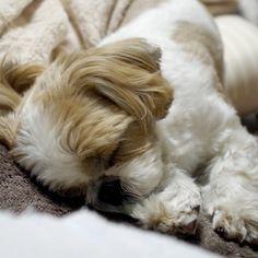 Let sleeping dogs lie Shih Tzu Perro Shih Tzu, Shih Tzu Hund, Shih Tzu Puppy, Shih Tzus, Shitzu Puppies, Cute Puppies, Cute Dogs, Dogs And Puppies, Doggies