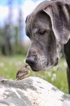 Great Dane and little bird that's about the size of an hors d'oeuvre