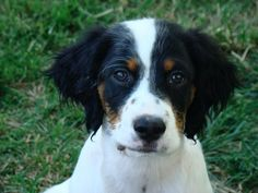 Maybe Im biased but my Murphy has to be the most handsome English Setter. #englishsetter #setters