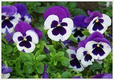 #plantines #flores #primavera #pensamientos