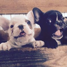 "Lights, Camera, Action ""wait I'm not ready"", Funny French Bulldog Puppies making their Hollywood Debut"