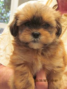 Shih Poo Puppy- Ewok: cute, but our Wookie really looks like an Ewok Shih Poo Puppies, Puppies And Kitties, Teacup Puppies, Shih Tzu Puppy, Pet Puppy, Cute Puppies, Pet Dogs, Dog Cat, Bear Dog Breed