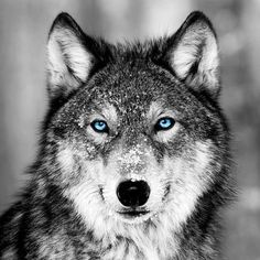 Wolf Images, Wolf Photos, Wolf Pictures, Wolf Tattoos, Celtic Tattoos, Animal Tattoos, Wolf With Blue Eyes, Wolf Husky, Wolf Face