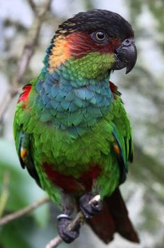 Blue-Throated Conure Parrot