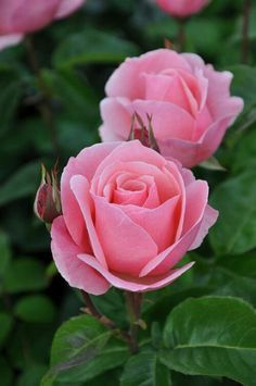 Captivating Why Rose Gardening Is So Addictive Ideas. Stupefying Why Rose Gardening Is So Addictive Ideas. Purple Roses, Pink Flowers, White Roses, My Flower, Pretty Flowers, Queen Elizabeth Rose, Rose Queen, Rose Foto, Fleur De Lis