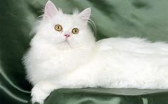 most beautiful white cats in the world.