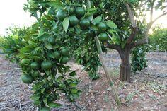 Temporada 2015  Mandarina  – Pego Natura. Directas del arbol a tu casa. Presupuestos sin compromiso. Más información: info@pegonatura.es