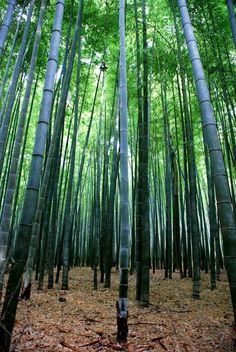 Pour commencer la forêt n'est pas dans kyoto mais à côté. En effet il vous faudra prendre le train (JR) de la gare de kyoto jusqu'à Arashiyama (environ 15mn). Sur place, la bonne sortie sera indiquée en anglais et dehors vous devrez marcher encore 10 minutes environ pour arriver à la forêt. Il n'y a qu'à suivre les panneaux et savoir dire:bamboo forest, pour qu'on vous indique si vous avez du mal. la forêt n'est pas très grande, il y a un parcours à suivre mais c'est sympa à voir. De plus…