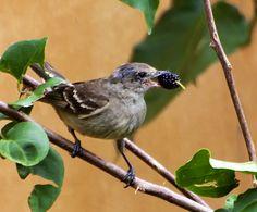 Guaracava-de-barriga-amarela (Elaenia flavogaster) por Mariza Sanches | Wiki Aves - A Enciclopédia das Aves do Brasil