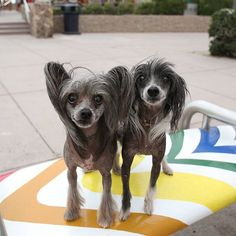 """Rookie and Tara, Chinese Crested Dogs (13 y/o), Imperial Beach ▪ """" He's more of a lover and she's a social butterfly."""" #imperialbeachlocals #sandiegoconnection #sdlocals #iblocals - posted by The Dogumentor  https://www.instagram.com/thedogumentor. See more post on Imperial Beach at http://imperialbeachlocals.com"""