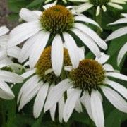 Botanical name: Echinacea purpurea 'White Lustre'    Other names: Coneflower 'White Luster' Click image to learn more, add to your lists and get care advice reminders each month.