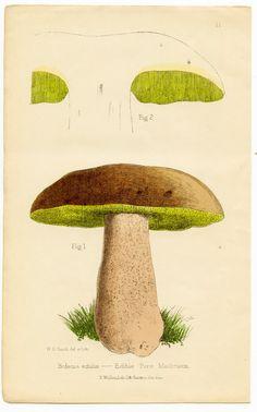 Antique Botanical Clip Art - Brown & Chartrueuse Mushroom - The Graphics Fairy