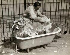 Shampouineur de Lions