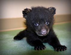 Not many things cuter than a black bear cub. Cute Endangered Animals, Endangered Species, Cute Animals, Grizzly Bear Cub, Bear Cubs, Black Bear Cub, Ursa Major, Brown Bear, Animal Pictures
