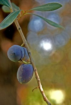 Olives near the Sea of Galilee, Israel Palestine, Olives, Terra Santa, Sea Of Galilee, Israeli Food, Israel Travel, Olive Tree, Holy Land, Great Friends