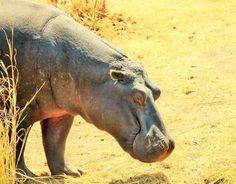 'Sleepy Head Hippopotumus' by maryannwest Sleepy Head, Ann, Africa, Photos, Softies, Pictures