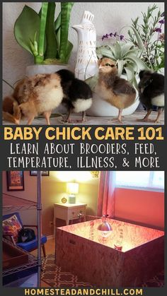 Congrats on the new or upcoming additions! Raising baby chicks with your family is SO fun - but you need to be informed and prepared! Come learn about setting up a chick brooder, temperature requirements, potential illnesses to keep an eye out for, plus tips for daily care and the transition to the great outdoors! #chickens #homesteading #chicks #backyardchickens Raising Backyard Chickens, Backyard Chicken Coops, Baby Chickens, Keeping Chickens, Diy Chicken Coop, Backyard Farming, Chicken Garden, Raising Ducks, Urban Chickens