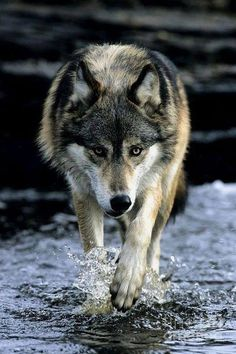 """Two Socks"" Was the wolf in the Kevin Costner Movie ""Dances With Wolves"" - Nature Photo - Best Nature Photos - Beautiful Natural Photos Wolf Photos, Wolf Pictures, Nature Photos, Wolf Love, Wolf Spirit, My Spirit Animal, Woods Photography, Animal Photography, Beautiful Wolves"