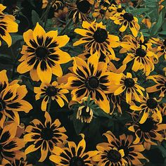 As the Cornflower Montana and Larskspur pull back in the Black Swan planter, Rudbeckia Kelvedon Star begins its turn, picking up the black theme and blending beautifully with the Midnight Runners.
