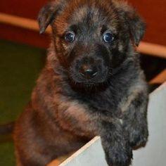Hollandse Herder Pup